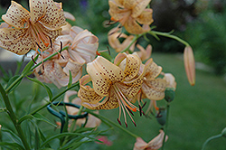 Peach Butterfly Lily (Lilium 'Peach Butterfly') at Roger's Gardens