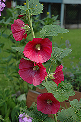 Red Hollyhock (Alcea rosea 'Red') at Roger's Gardens