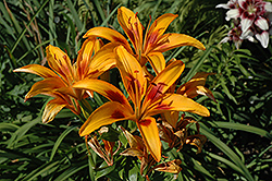 Picasso Lily (Lilium 'Picasso') at Roger's Gardens