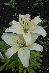 Aurora Lily (Lilium 'Aurora') at Roger's Gardens