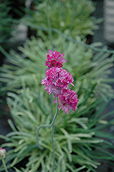Nifty Thrifty Sea Thrift (Armeria maritima 'Nifty Thrifty') at Roger's Gardens