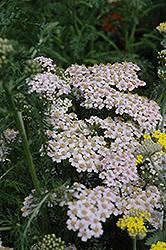 Lavender Lady Yarrow (Achillea millefolium 'Lavender Beauty') at Roger's Gardens
