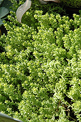 Golden Moss Stonecrop (Sedum acre 'Aureum') at Roger's Gardens