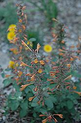 Apricot Sunrise Hyssop (Agastache 'Apricot Sunrise') at Roger's Gardens
