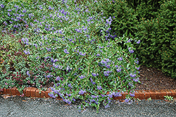 Blue Mist Caryopteris (Caryopteris x clandonensis 'Blue Mist') at Roger's Gardens