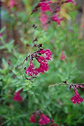 Raspberry Royal Sage (Salvia greggii 'Raspberry Royal') at Roger's Gardens