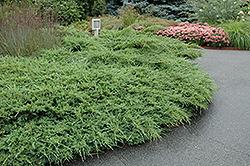 Sea Spray Juniper (Juniperus chinensis 'Sea Spray') at Roger's Gardens