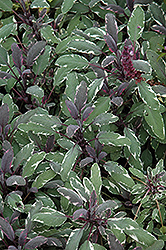 Tricolor Sage (Salvia officinalis 'Tricolor') at Roger's Gardens
