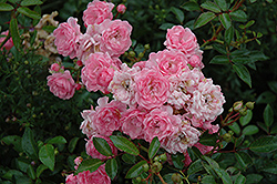 The Fairy Rose (Rosa 'The Fairy') at Roger's Gardens
