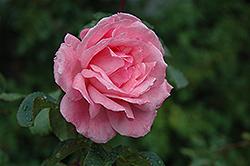 Queen Elizabeth Rose (Rosa 'Queen Elizabeth') at Roger's Gardens