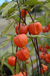 Chinese Lantern (Physalis franchetii) at Roger's Gardens