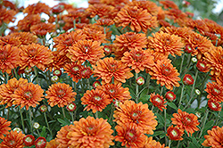 Hannah Chrysanthemum (Chrysanthemum 'Hannah') at Roger's Gardens