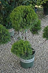 Mint Julep Juniper (pom pom) (Juniperus chinensis 'Mint Julep (pom pom)') at Roger's Gardens
