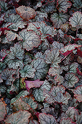 Raspberry Ice Coral Bells (Heuchera 'Raspberry Ice') at Roger's Gardens