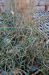 Curly Wurly Corkscrew Rush (Juncus effusus 'Curly Wurly') at Roger's Gardens