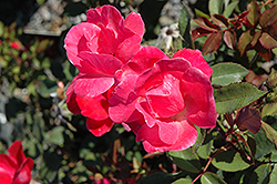Pink Knock Out Rose (Rosa 'Radcon') at Roger's Gardens