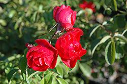 Flower Carpet Scarlet Rose (Rosa 'Flower Carpet Scarlet') at Roger's Gardens