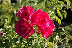 Flower Carpet Pink Rose (Rosa 'Flower Carpet Pink') at Roger's Gardens