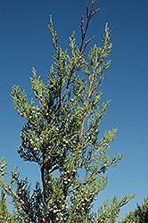 Hetz Columnar Juniper (Juniperus chinensis 'Hetz Columnar') at Roger's Gardens