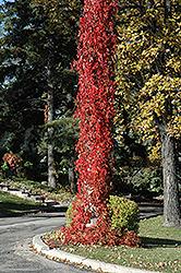 Virginia Creeper (Parthenocissus quinquefolia) at Roger's Gardens