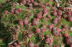 Red Beauty Hens And Chicks (Sempervivum 'Red Beauty') at Roger's Gardens