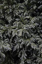Cyano-Viridis Falsecypress (Chamaecyparis pisifera 'Cyano-Viridis') at Roger's Gardens