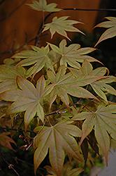 Purple-Leaf Japanese Maple (Acer palmatum 'Atropurpureum') at Roger's Gardens