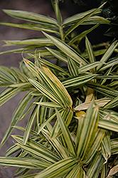 Dwarf Whitestripe Bamboo (Pleioblastus fortunei) at Roger's Gardens