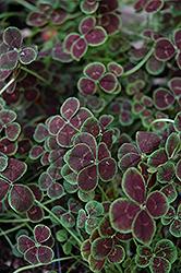 Purpurascens Quadrifolium Clover (Trifolium repens 'Purpurascens Quadrifolium') at Roger's Gardens