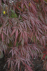 Tamukeyama Japanese Maple (Acer palmatum 'Tamukeyama') at Roger's Gardens