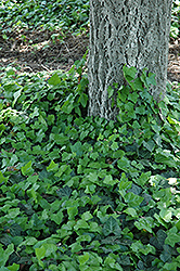 Baltic Ivy (Hedera helix 'Baltica') at Roger's Gardens
