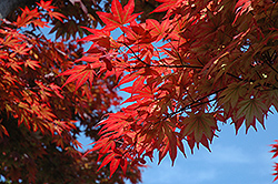 Oshio Beni Japanese Maple (Acer palmatum 'Oshio Beni') at Roger's Gardens