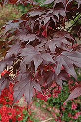 Bloodgood Japanese Maple (Acer palmatum 'Bloodgood') at Roger's Gardens