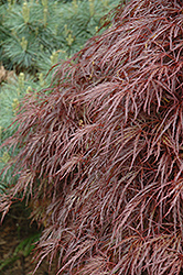 Red Select Cutleaf Japanese Maple (Acer palmatum 'Dissectum Red Select') at Roger's Gardens