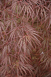 Purple-Leaf Threadleaf Japanese Maple (Acer palmatum 'Dissectum Atropurpureum') at Roger's Gardens