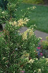 Kaizuka Variegated Juniper (Juniperus chinensis 'Kaizuka Variegated') at Roger's Gardens