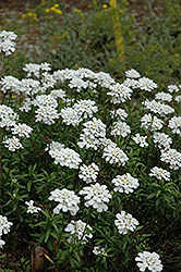 Purity Candytuft (Iberis sempervirens 'Purity') at Roger's Gardens