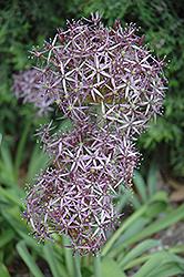 Star Of Persia Onion (Allium christophii) at Roger's Gardens