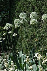 Mount Everest Ornamental Onion (Allium 'Mount Everest') at Roger's Gardens