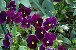 Matrix Purple Pansy (Viola 'PAS770616') at Roger's Gardens
