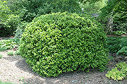 Japanese Boxwood (Buxus microphylla 'var. japonica') at Roger's Gardens