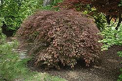 Inaba Shidare Cutleaf Japanese Maple (Acer palmatum 'Inaba Shidare') at Roger's Gardens