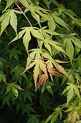 Katsura Japanese Maple (Acer palmatum 'Katsura') at Roger's Gardens