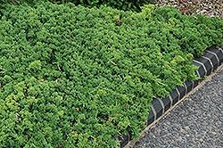 Green Mound Dwarf Japanese Juniper (Juniperus procumbens 'Green Mound') at Roger's Gardens
