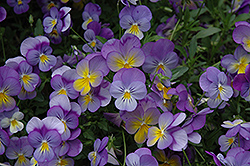 Rebel Blue and Yellow Pansy (Viola 'Rebel Blue and Yellow') at Roger's Gardens