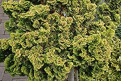 Dwarf Golden Hinoki Falsecypress (Chamaecyparis obtusa 'Nana Lutea') at Roger's Gardens
