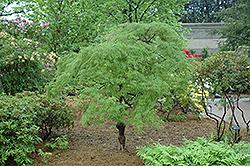 Cutleaf Japanese Maple (Acer palmatum 'Dissectum') at Roger's Gardens