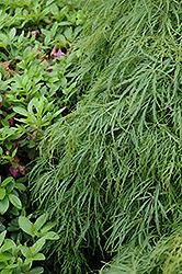 Cutleaf Japanese Maple (Acer palmatum 'Dissectum Viridis') at Roger's Gardens