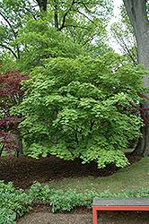 Cutleaf Fullmoon Maple (Acer japonicum 'Aconitifolium') at Roger's Gardens
