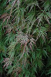 Orangeola Cutleaf Japanese Maple (Acer palmatum 'Orangeola') at Roger's Gardens